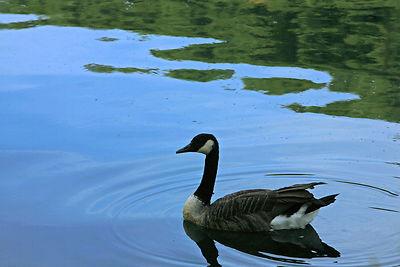 canadian+goose