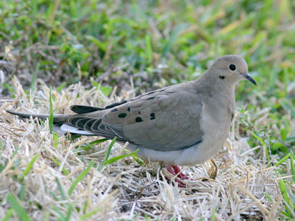 mourning_dove_3 (1)