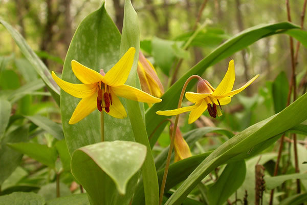 Erythronium americanum - Yellow Trout-lily